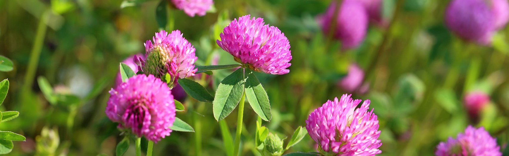 Thickets of a blossoming clover